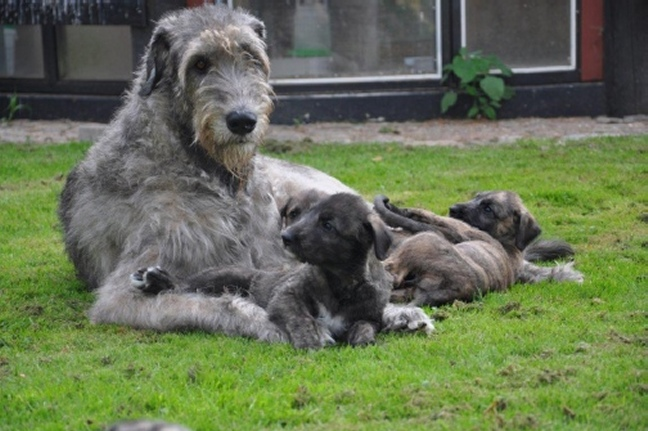 Irish Wolfhound Colorado The gallery for -->...